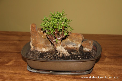 Bonsai - Crassula tetragona
