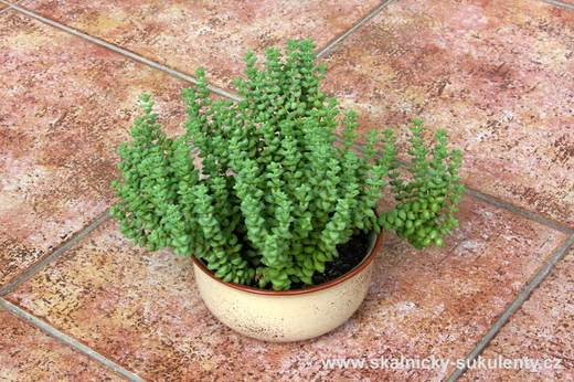 Crassula rupestris