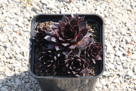 Netřesk - Sempervivum Bronco