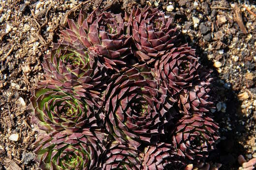 Sempervivum Manuel 4/2020