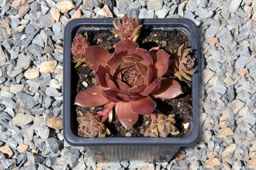 Netřesk Sempervivum Pacific devils food