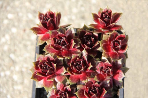 Netřesk - Sempervivum Red Delta