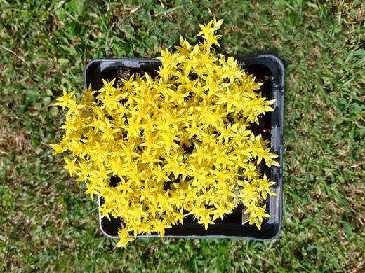 SEDUM ACRE - YELLOW QUEEN - 18/6/2019