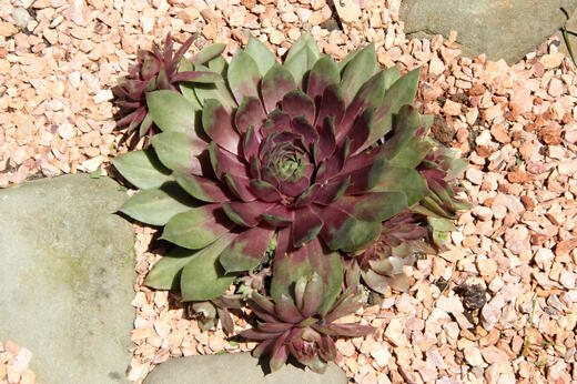 Sempervivum 6 - foto 7/2020