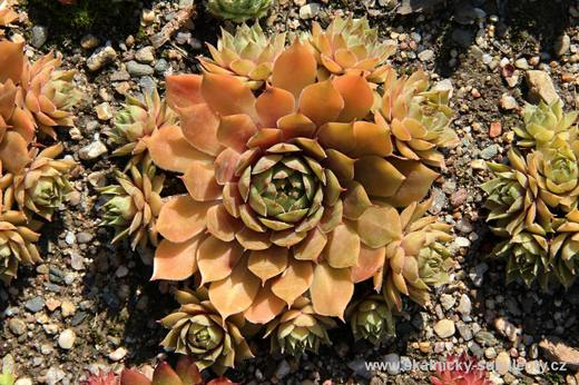 Netřesk - Sempervivum starshine